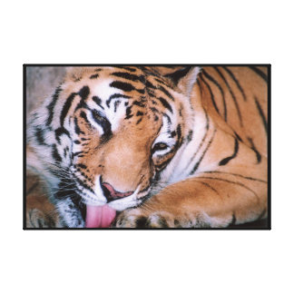 Bengal Tiger Cleaning Wrapped Stretched Canvas Print