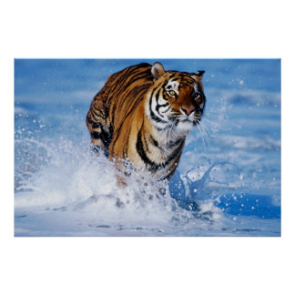 Bengal Tiger In Ocean poster
