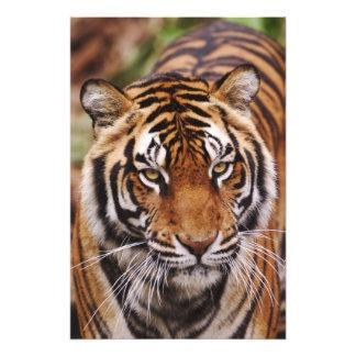 Bengal Tiger, Panthera tigris 3 Photo Print
