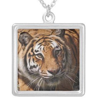 Bengal Tiger, Panthera tigris 3 Square Pendant Necklace