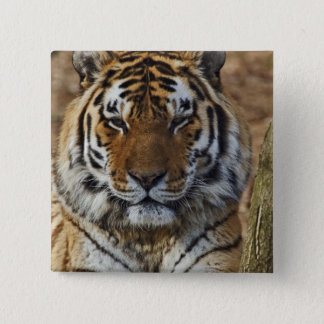 Bengal Tiger, Panthera tigris, Louisville Zoo, 15 Cm Square Badge
