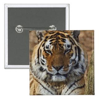 Bengal Tiger, Panthera tigris, Louisville Zoo, 15 Cm Square Badge