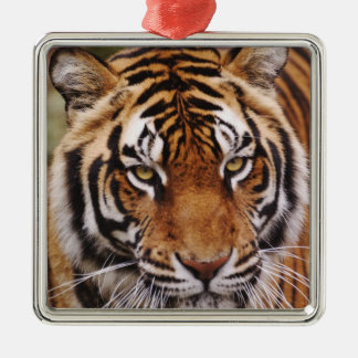 Bengal Tiger, Panthera tigris Silver-Colored Square Decoration