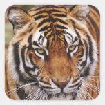 Bengal Tiger, Panthera tigris Square Stickers