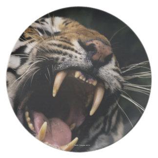 Bengal tiger (Panthera tigris tigris) snarling, Dinner Plate