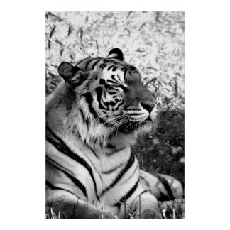 Bengal Tiger Profile in Black and White Poster