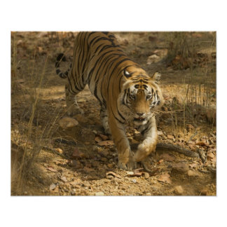 Bengal Tiger walking Poster
