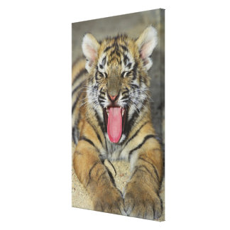 Bengal tiger yawning gallery wrap canvas