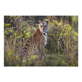 Bengal tigress in tall grass, trying to hunt, photographic print