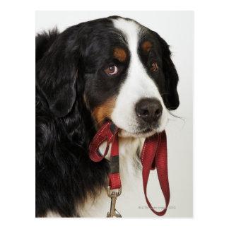 Bernese Mountain Dog (Berner Sennenhund) Postcard