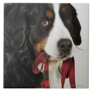 Bernese Mountain Dog (Berner Sennenhund) with Tile