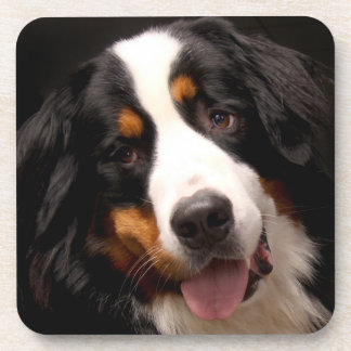 Bernese Mountain Dog Coaster