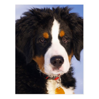 Bernese Mountain Dog - Cute Puppy Photo Postcard