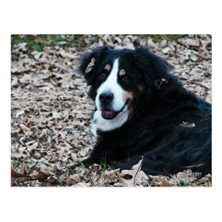 Bernese Mountain Dog in Autumn Postcard