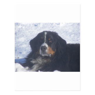 Bernese Mountain Dog Postcard
