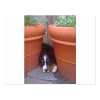 Bernese Mountain Dog Puppy Postcard