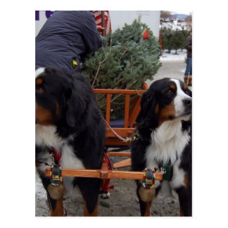 Bernese Mountain Dogs Postcard