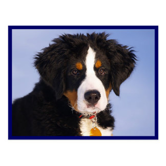 Bernese Mountain Puppy Dog Blank Postcard