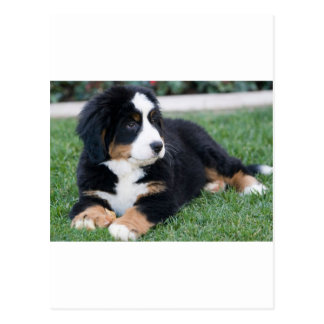 Bernese Mountain Puppy Postcard