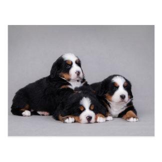 Bernese puppies postcard