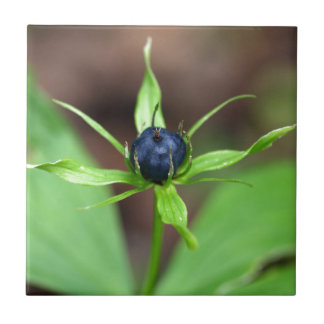 Berry of an herb paris (Paris quadrifolia) Ceramic Tile
