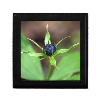 Berry of an herb paris (Paris quadrifolia) Gift Box