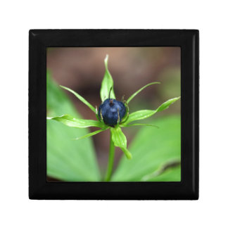 Berry of an herb paris (Paris quadrifolia) Small Square Gift Box