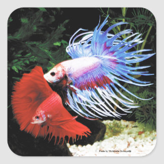Betta Square Sticker