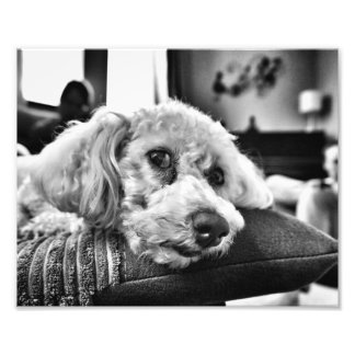 Bichon frise on sofa photo print