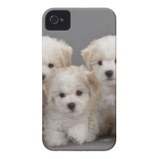 Bichon Frisé Puppies iPhone 4 Cover