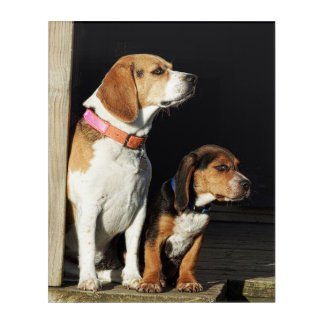Big Beagle Sister & Little Brother Beagle Acrylic Wall Art