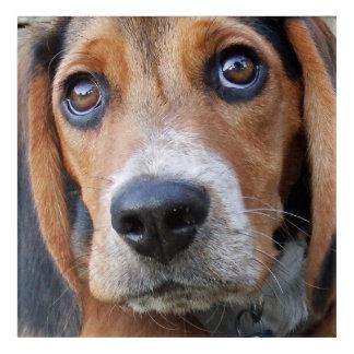 Big Brown Eyed Beagle Puppy Dog Acrylic Print