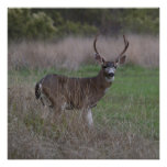 Big Buck Four-Pointer Poster