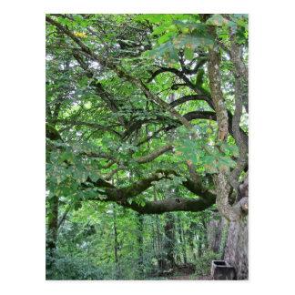 Big chestnut tree postcard