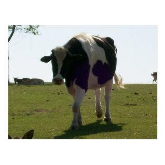 Big Cow Postcard