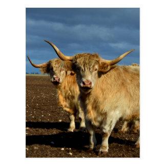 Big_Fawn_Highland_Cows,_ Postcard