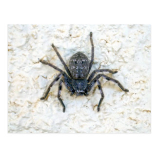 Big_Female_Huntsman_Spider,_ Postcard
