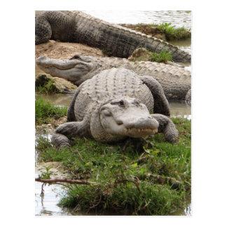 Big Gator Postcard