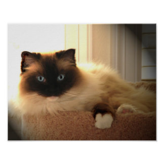 Big Giant Ragdoll Cat Poster