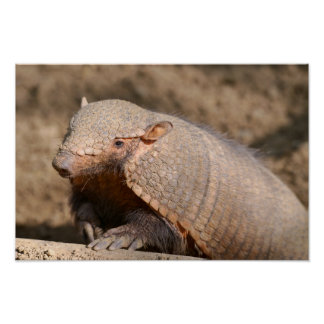 Big hairy armadillo poster