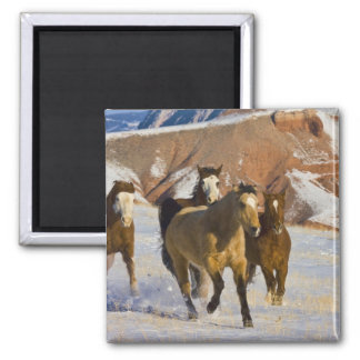 Big Horn Mountains, Horses running in the snow 3 Fridge Magnets