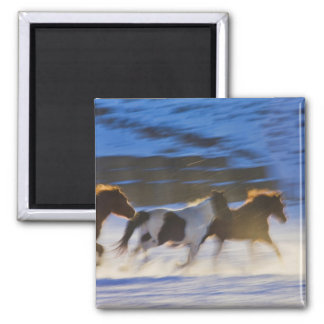 Big Horn Mountains, Horses Running in the Snow Fridge Magnets