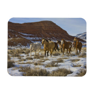 Big Horn Mountains Horses Running in The Snow Magnets