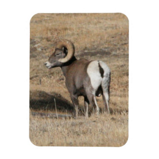 Big Horn Ram Vinyl Magnet