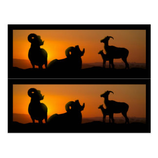 Big Horn Sheep Book markers Post Card