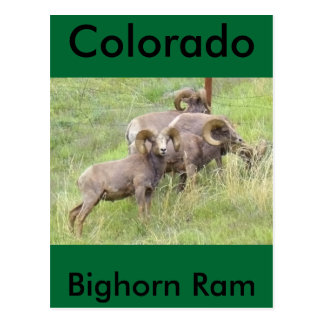 Big Horn Sheep Feeding Postcard