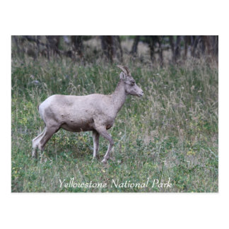 Big Horn Sheep, Female, Yellowstone Postcard