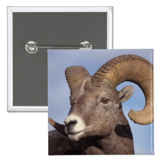 big horn sheep mountain sheep Ovis canadensis Pins