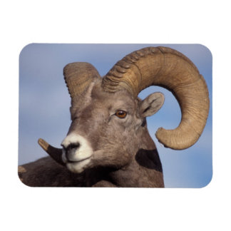 big horn sheep, mountain sheep, Ovis canadensis, Rectangular Photo Magnet