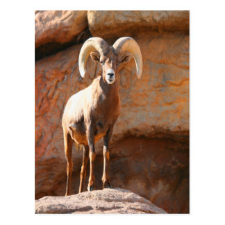 Big Horn Sheep Postcard